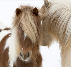 Portrait of Icelandic horses with long mane and forelock in winter