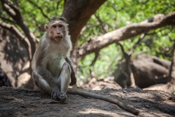 Portrait of indian macaque sitting on a stone  in the jungle of Goa. India.