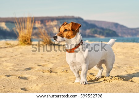 Portrait of Jack Russell Terrier. A dog playing on the beach in the light of a pink sunset. Pet in the summer Foto stock ©