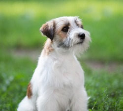 portrait of Jack Russell Terrier dog summer in the park