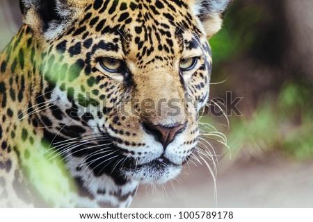 Portrait of Jaguar #1005789178