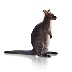 Portrait Of Kangaroo Isolated On White Background