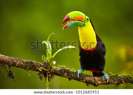 Portrait of Keel-billed Toucan (Ramphastus sulfuratus) perched on branch at Tropical Reserve. In Costa Rica. Wildlife bird