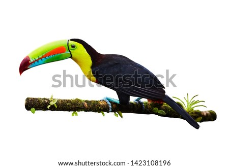 Portrait of Keel-billed Toucan (Ramphastus sulfuratus) perched on branch, isolated on white background