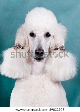 Portrait of  King size white poodle with ponytails - stock photo