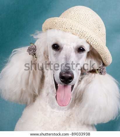 Portrait of  King size white poodle with ponytails and in a stra