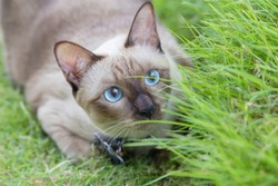Portrait of kitten Siamese Cat with blue eyes in the garden.Thai cats with blue eyes are sitting on green grass.The name in Thai is