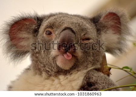 Portrait of koala winking and putting out her tongue.  #1031860963