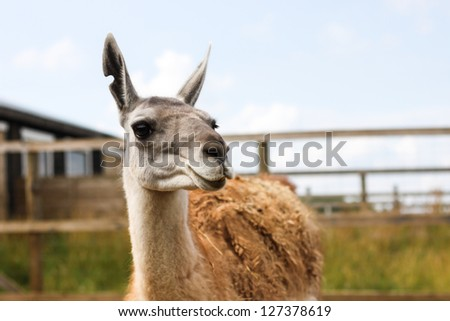 portrait of lama on the runch