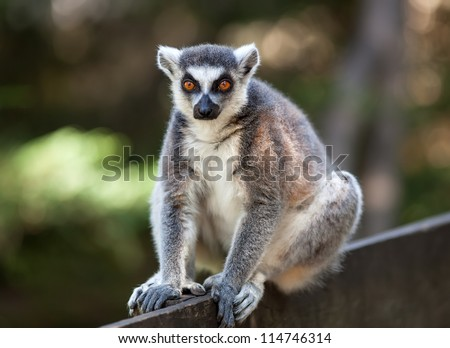 Portrait of lemur catta (ring tailed lemur) - stock photo
