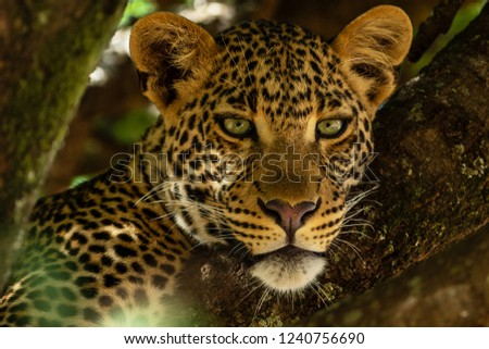 Portrait of leopard in Kenya #1240756690