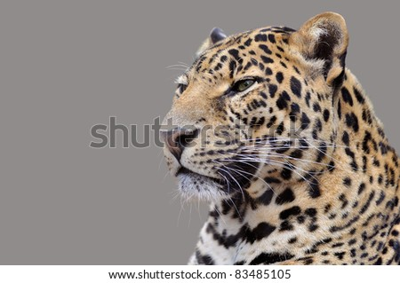 Portrait of leopard (Panthera pardus) isolated on grey background