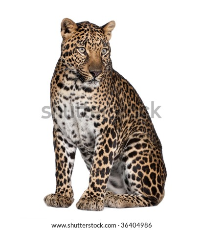 Portrait of leopard, Panthera pardus, sitting in front of white background, studio shot