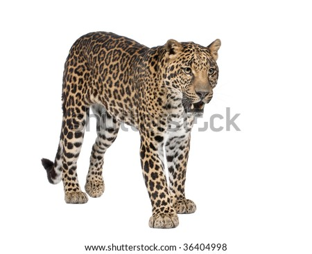 Portrait of leopard, Panthera pardus, standing in front of white background, studio shot