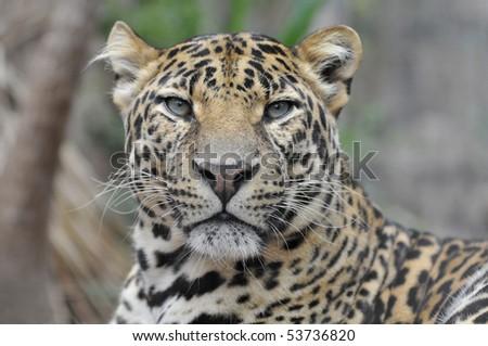 Portrait of leopard (Panthera pardus) view of front