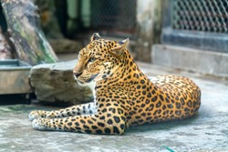 Portrait of leopard prints relaxing in the zoo. This is an animal belonging to the cat family needs to be preserved in nature