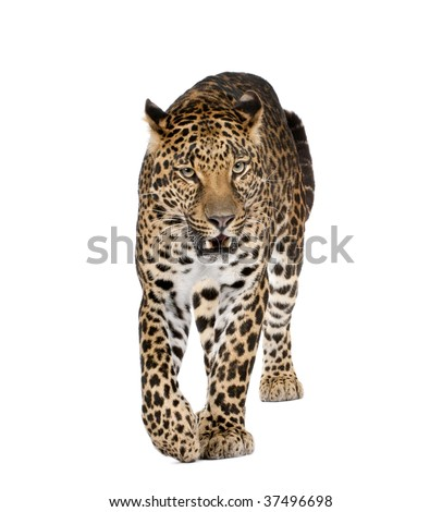 Portrait of leopard walking and snarling, Panthera pardus, against white background, studio shot