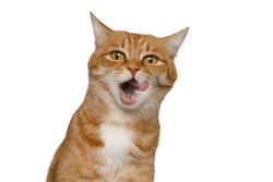 Portrait of Licking Ginger Cat, Looking in camera on Isolated white background, front view