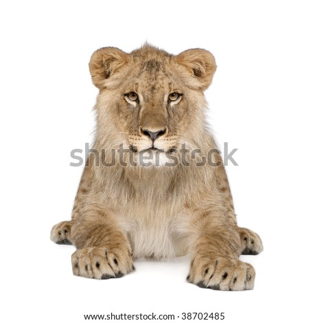 Portrait of lion cub, Panthera leo, 8 months old, sitting in front of white background, studio shot - stock photo