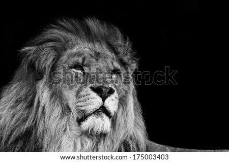 Portrait of Lion in black and white