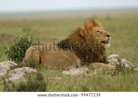 Portrait of lion king smiling