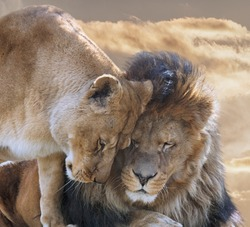 Portrait of  Lion with Lioness in mood for love.