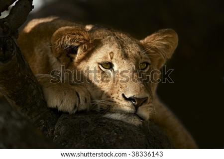 Portrait of lioness resting