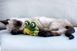 Portrait of little cute siamese kitten sleeping on couch while hugging a stuffed frog in living room at home.