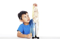 Portrait of little elementary school student measures human skeleton by measurement tape