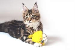 Portrait of little Maine coon kitten lying on white background with yellow soft toy mouse in paws. Big and fluffy domestic pet with cute expressive look. Tassels on the ears, tabby color. Copy space.