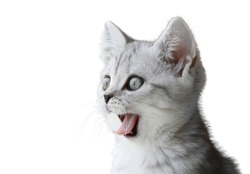Portrait of little scottish kitten isolated on white background