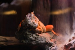 portrait of lizard in a aquarium