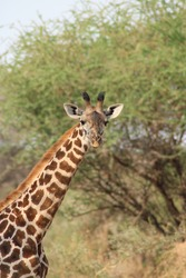 Portrait of lone giraffe in Serengeti
