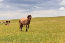 Portrait of lone horse isolated on the edge of a herd in the remote grassland of Mongolia
