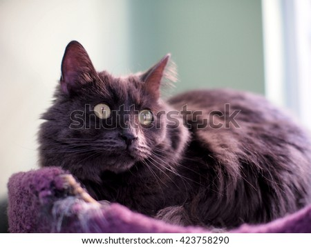 Free Photos Portrait Of Long Hair Grey Fur Russian Blue Cat With