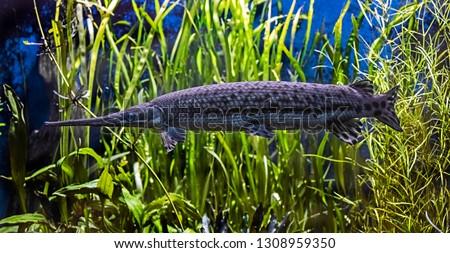 Portrait of longnose gar. Latin name - Lepisosteas osseus  Photo stock ©