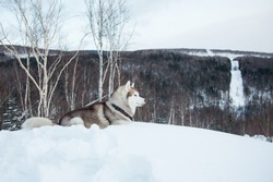 Portrait of lying topdog Husky in winter forest. Profile portrait of attentive Beige and White Siberian husky dog is on the snow on a mountain background