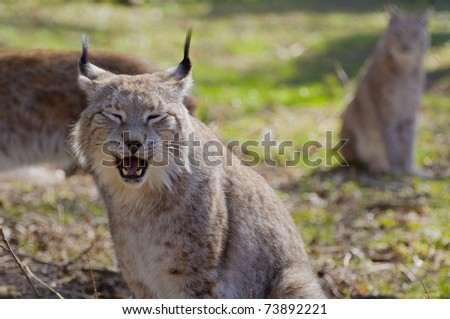 Portrait of Lynx lynx in a forest - stock photo