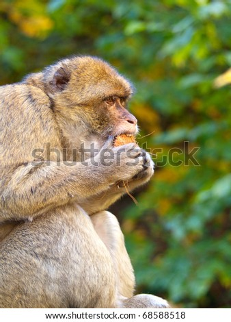 Portrait of macaque