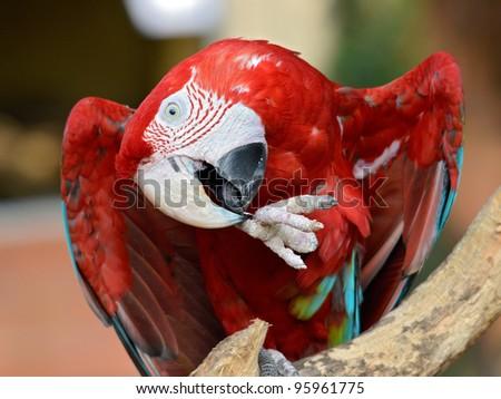 Portrait of macaw (Ara chloroptera or chloropterus)