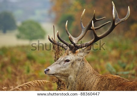 Portrait of majestic powerful adult red deer stag in Autumn Fall forest #88360447