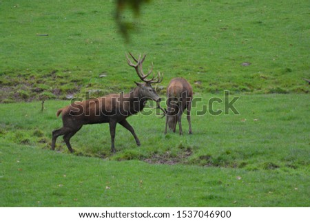 Portrait of majestic powerful adult red deer stags in Autumn Fall forest fighting #1537046900