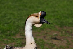 Portrait of male domesticated chinese geese on the green meadow. Photography of nature and wildlife.