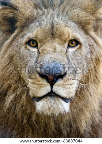 black and white lion face. portrait of male lion face