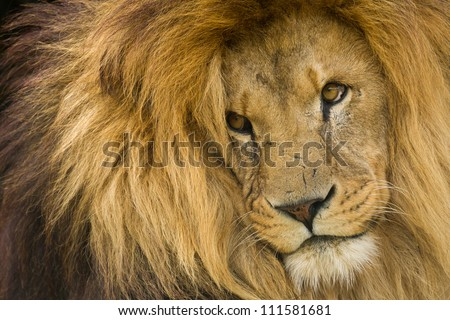 Portrait of male Lion staring into distance.
