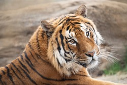 Portrait of male tiger, zoo