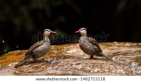 Portrait of Male Torrent Duck (Merganetta armataa pair of males in the river in mirror mode, uncommon and often hard to find in fast flowing Andean streams and rivers inconspicuous in water when