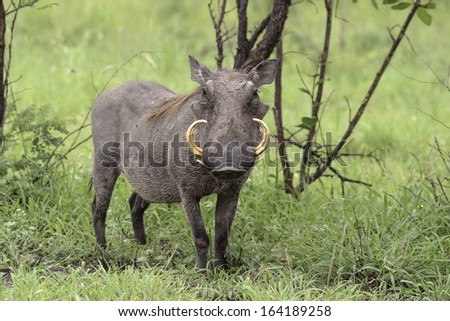 Portrait of male warthog with large tusks standing in grass lookig forward