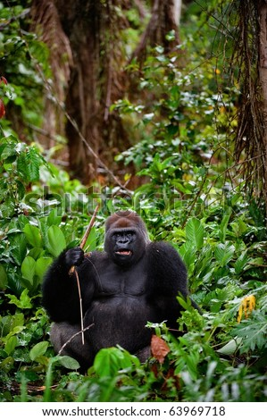 Portrait of male Western Lowland Gorilla.The male of a gorilla poses in front of the camera. A native habitat - stock photo