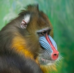 Portrait of Mandrill, Mandrillus sphinx, primate of the Old World monkey family